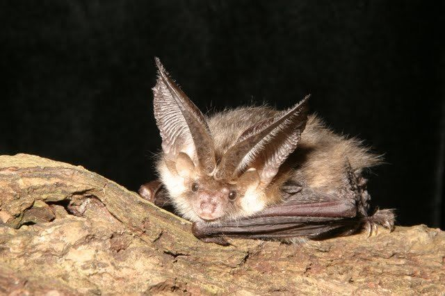 Brown-long-eared-on-log-©Hugh-Clark_Bat-Conservation-Trust_353fe568217a4ecd8f2727f818d6534e